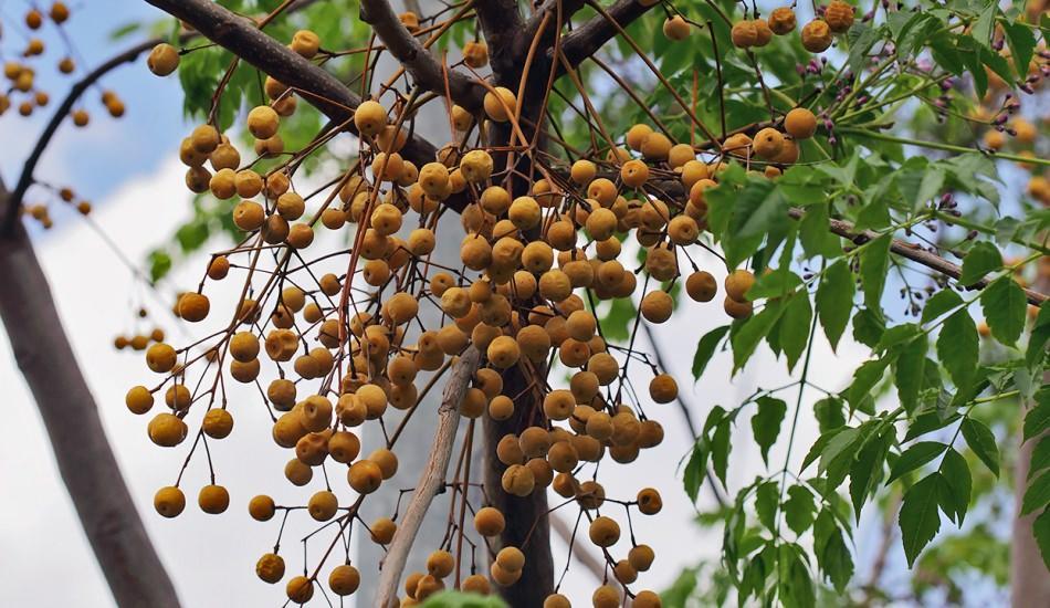 Tesbih ağacı yağının saça faydaları nelerdir Nasıl kullanılır