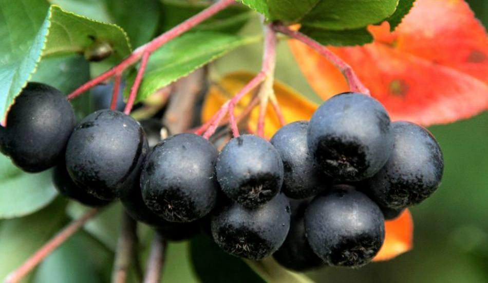 Aronya meyvesi faydaları nelerdir? İşte kanseri önleyen mucize...