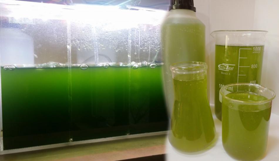 Fitoplankton nedir? Fitoplankon nerede bulunur ve faydaları nelerdir?