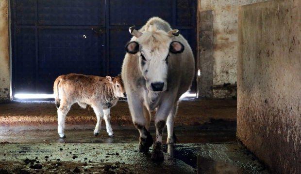 Klon sığırda ikinci kuşak başarısı