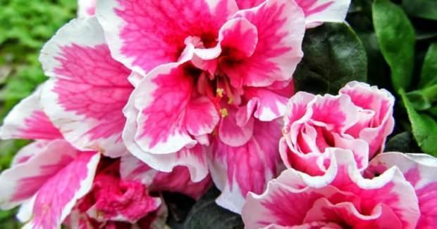 Açelya çiçeğinin bakımı