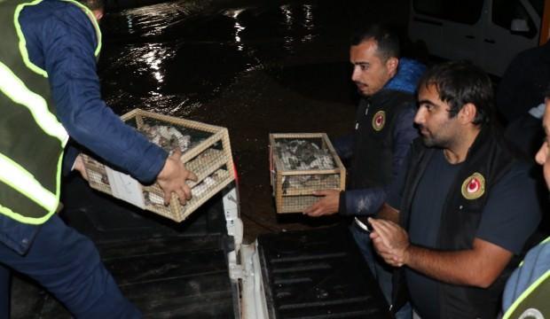 Suriye'den getirilen 500 Hint bülbülü yakalandı
