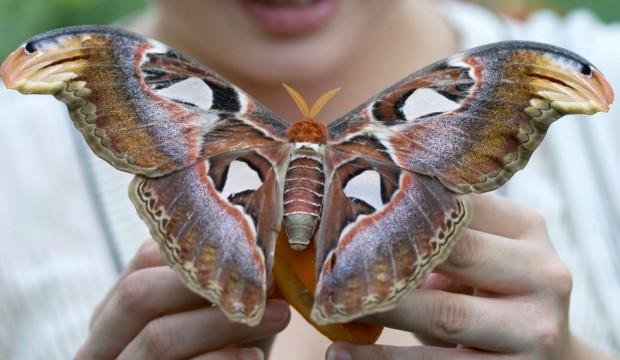 Kanadında kobra yılanı taşıyan kelebek!