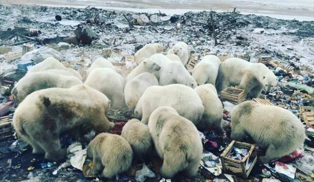 Kutup ayıları şehre indi! Acil durum ilan edildi