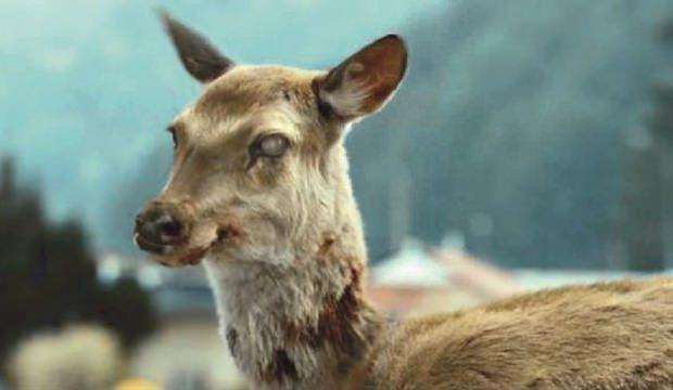 Hastalık yayılmaya başladı! Zombi geyikler