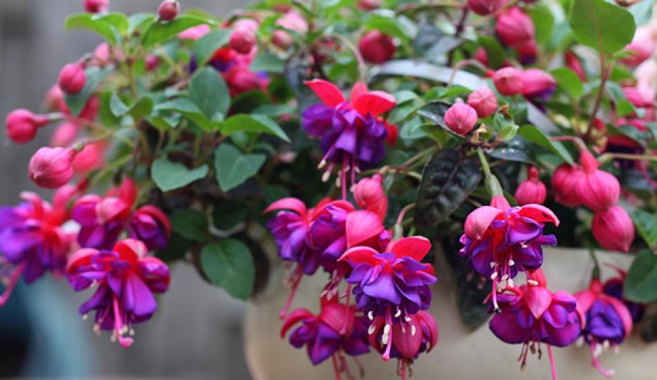 Küpe Çiçeği yetiştirmenin püf noktaları