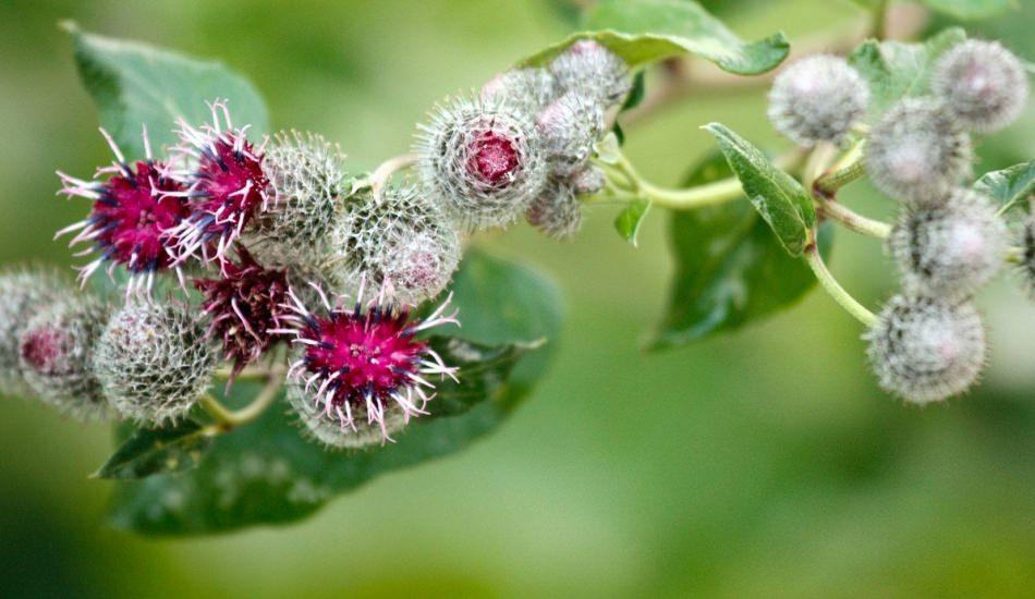 Dulavrat otunun faydaları nelerdir? Kan şekerini dengede tutan mucize bitki!