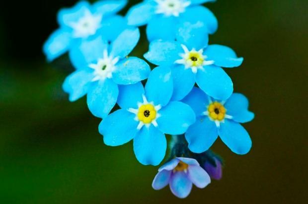 Beni unutma çiçeği bakımı