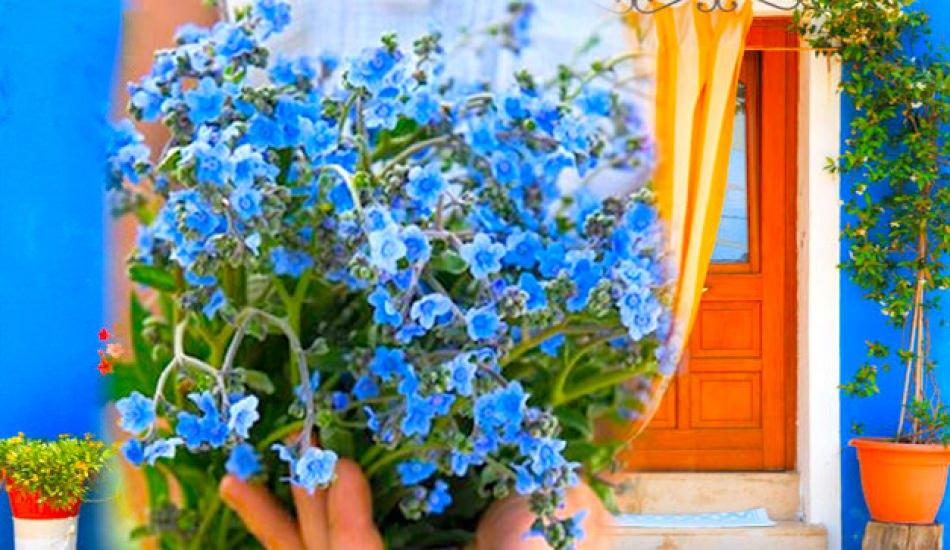 Beni unutma çiçeği nasıl yetiştirilir?