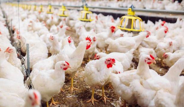 Rüyada tavuk görmek nasıl yorumlanır? Rüyada tavuk görmek neye işaret?