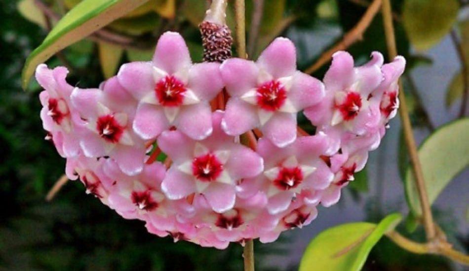 Mum çiçeğinin bakımı nasıl yapılır?