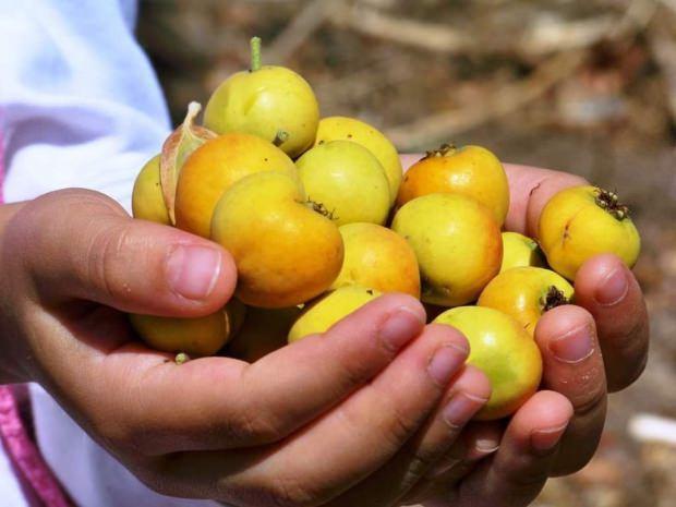alıç meyvesi