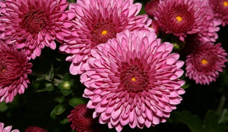 Kasımpatı çiçeği bakımı nasıl yapılır?
