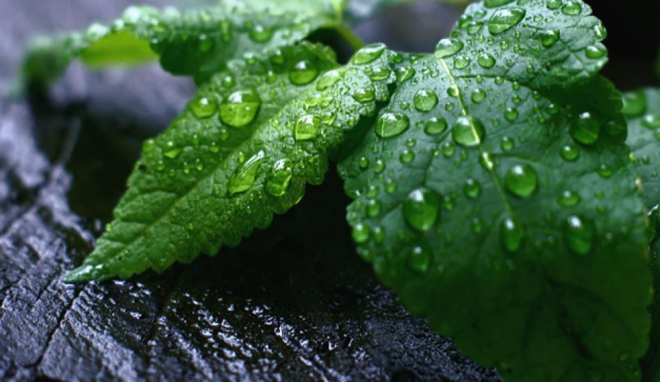 Nanenin faydaları nelerdir? Her gün taze nane yerseniz ne olur? Nane limon çayı ne işe yarar?