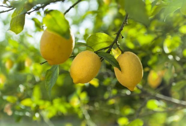 Limonla tüy saratma
