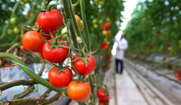 Rusya, Türk domatesinin kotasını artırmayı planlıyor
