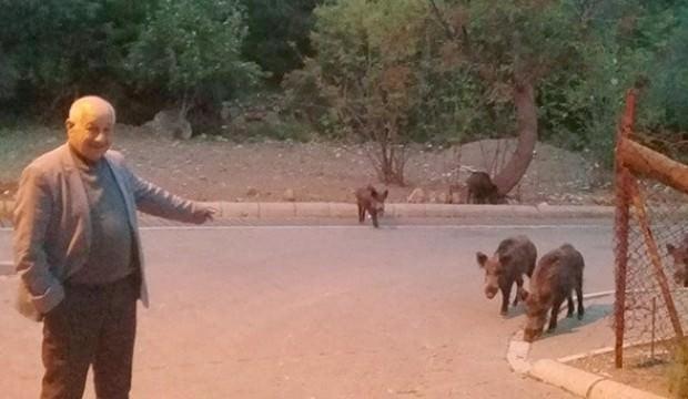 Marmaris'te yaban domuzları mahalleye indi