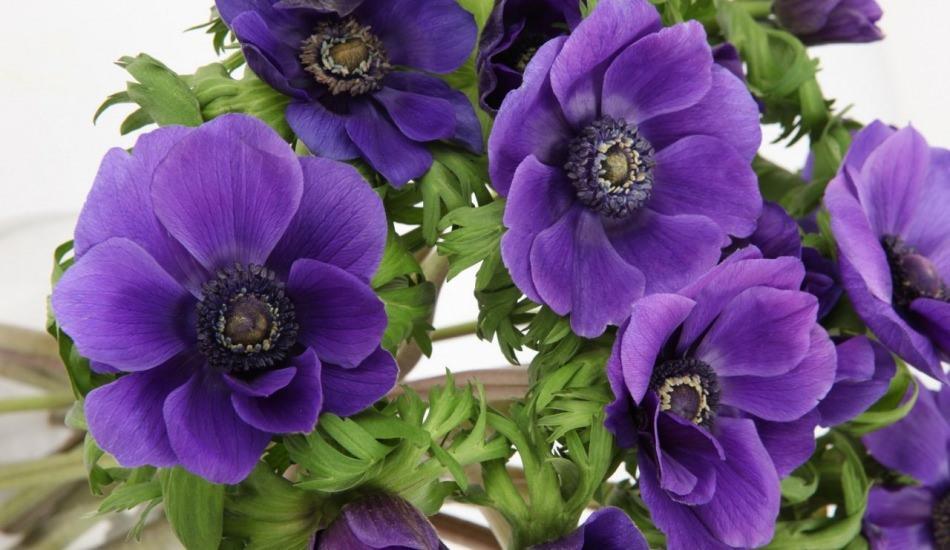 Anemon bitkisi nerede ve nasıl yetiştirilir?
