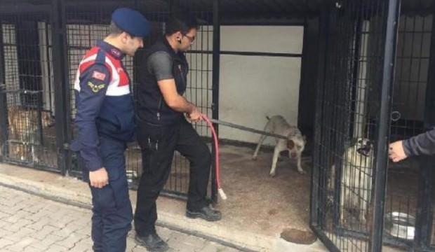 Barınaktan 2 pitbull çalan şüpheliler yakalandı