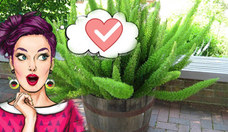 Kuşkonmaz bitkisi bakımı