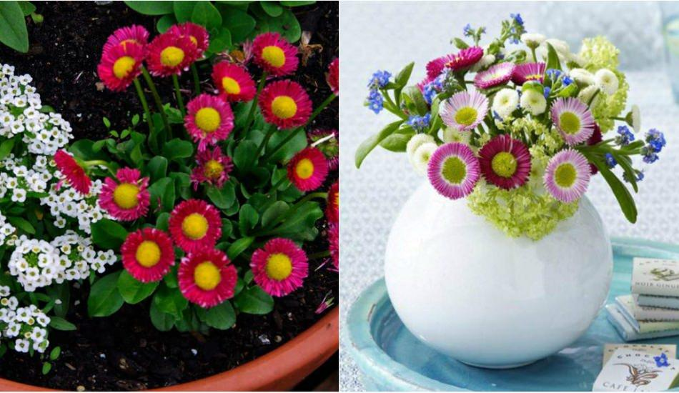Şeker tabağı çiçeği bakımı