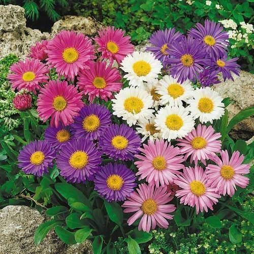 Aster (Yıldızpatı) çiçeği bakımı