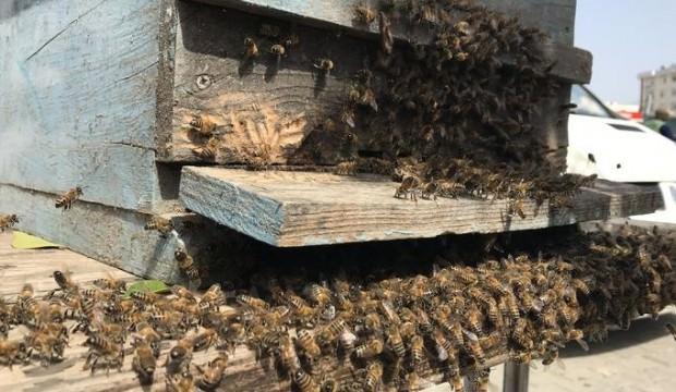 Firar eden arı paniği! Oğul arıyı yakaladı...