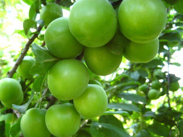 yeşil eriğin faydaları nelerdir