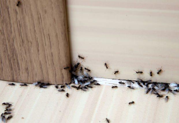Evdeki karıncalardan kurtulma yöntemleri