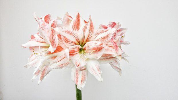 Güzel hatun çiçeği bakımı