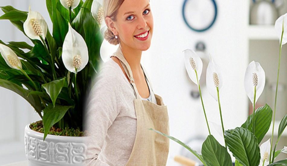Barış çiçeği bakımı nasıl yapılır? Nasıl çoğaltılır?