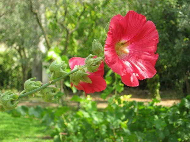 hatmi çiçeğinin faydaları nelerdir