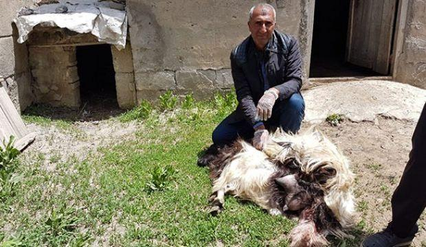 Korkunç olay! Başıboş köpekler 18 keçiyi telef etti