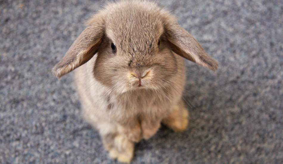 Tavşan bakımı nasıl olmalıdır? Tuvalet eğitimi nasıl yapılır?