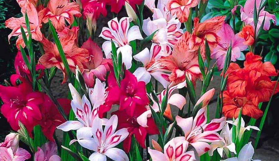 Glayöl çiçeğine nasıl bakılır?