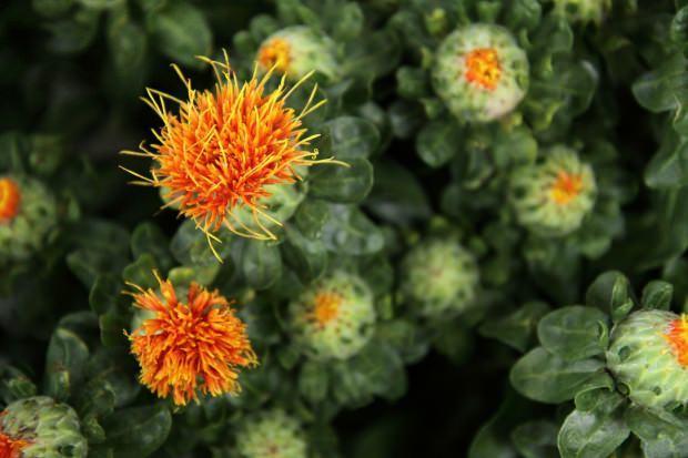 aspir çiçeği hangi hastalıklara iyi gelir