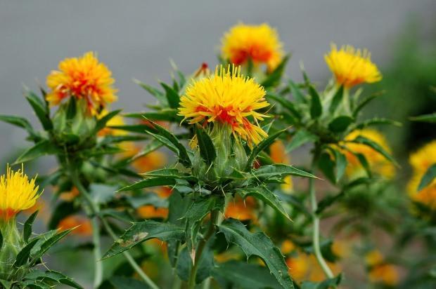 aspir çiçeğinin faydaları