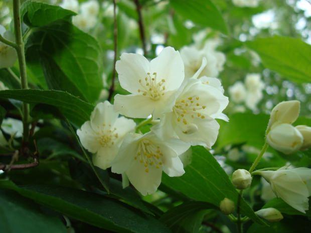 yasemin çiçeğinin cilde faydaları