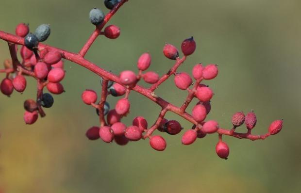 menengiç ağacı çitlembik meyvesi