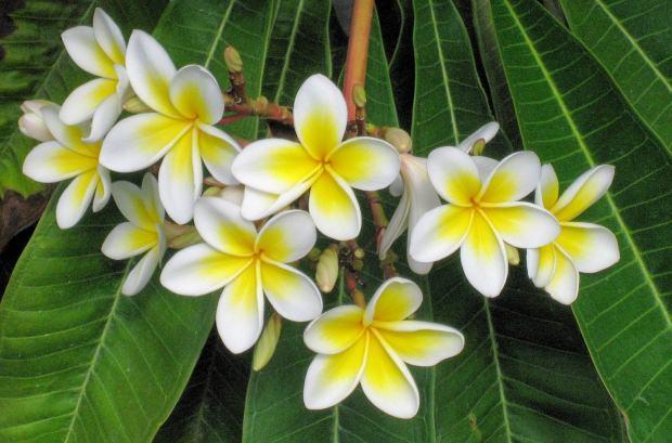 yasemin çiçeğinin faydaları nelerdir