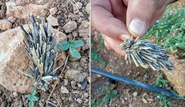 Bitki kökü sandılar 'mantolu böcek' çıktı