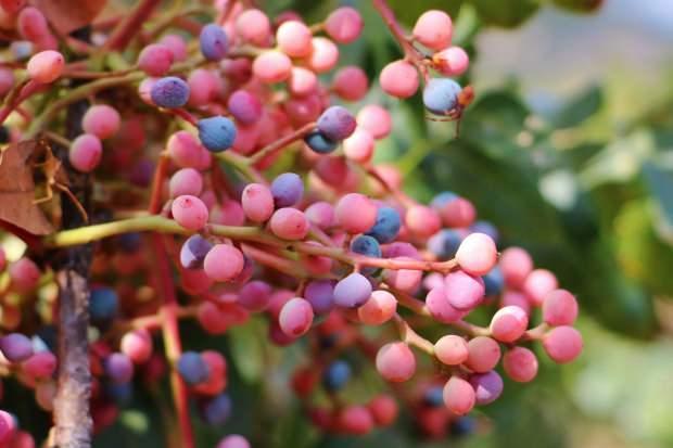 çitlembik meyvesinin faydaları