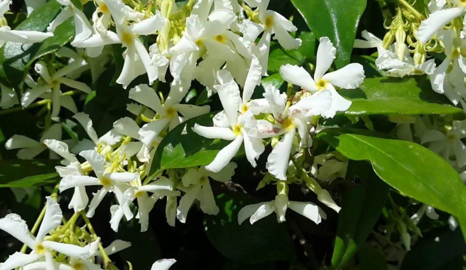 Yasemin çiçeğinin faydaları nelerdir? Doğada bulunan etkili adet söktürücü...
