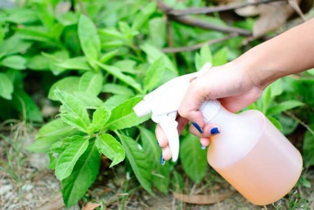 Doğal yolla böcek ilacı yöntemi uygulama