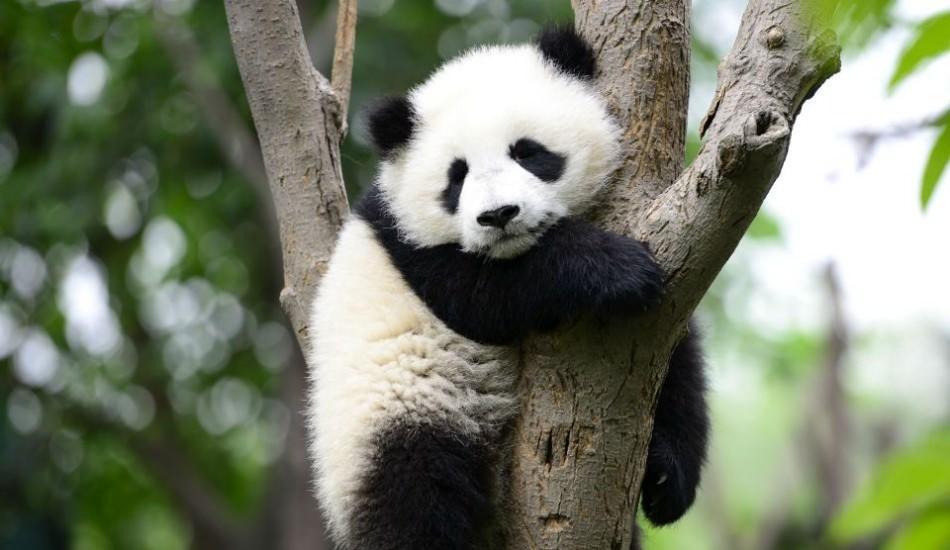 Dünya'nın en küçük pandası Çin'de dünyaya geldi