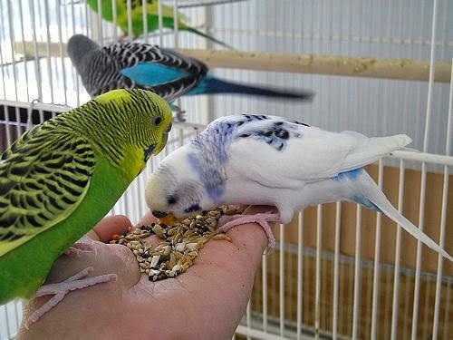 Muhabbet kuşu nasıl bakılır