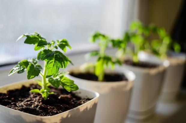 evde domates nasıl yetiştirilir
