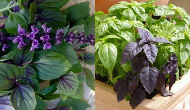 Mucize bitki reyhanın faydaları yararları hangi hastalıklara iyi gelir?