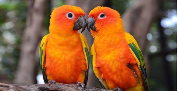 Cennet Papağanı nasıl beslenir?