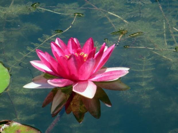 nilüfer çiçeğinin cilde faydaları